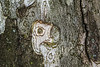 Old Man in the Tree Bark
