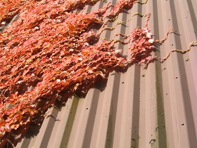 Encroaching  Vines versus corrugated metal.