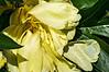 D164-2013 Yellow Peony in the act of disintegration<br /> .<br /> Perennial Garden, Matthaei Botanical Gardens, Ann Arbor, Michigan<br /> June 13, 2013