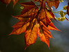 No, not fall foliage.  Schwedler maple in the spring, back lit