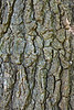 Detail of the highly corrugated corky bark of the sweetgum tree.<br /> Careful inspection reveals a wide range of colors in the bark.  Some of the green shades are probably due to algae.  There are tiny bits of dusty sage green lichen in spots, too.  The bark itself ranges from pearly grey to deeper tan, with hints of pinks and lavenders mixed in.<br /> <br /> October 4, 2011<br /> Toledo Botanical Gardens
