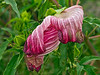 Hibiscus past its prime
