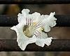 Grilled Catalpa Blossom, Sunny Side Up<br /> <br /> Northern Catalpa, Catalpa speciosa<br /> <br /> Secor Park, Toledo, Ohio<br /> May 31, 2012<br /> (nex5n)