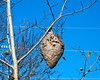Giant wasps nest in a small cottonwood.  Note the dried cottonwood leaves that have landed on the nest and stuck there.  They give a sense of the size of the nest.