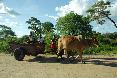 Bullock cart, rural Malawi.