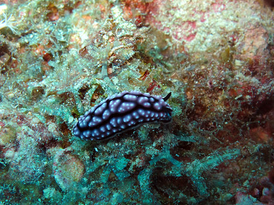 Scuba diving at Great Barrier reef - nudibranch