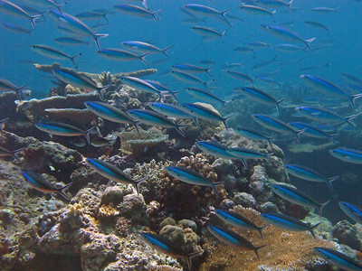 Scuba diving at Great Barrier reef - dive site Acropolis