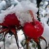 SNOW COVERED ROSE HIPS by Mike McKay