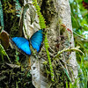 Butterfly, Milpe Cloud Forest, Ecuador