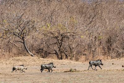 Warthogs, Vwaza Marsh Wildlife Reserve
