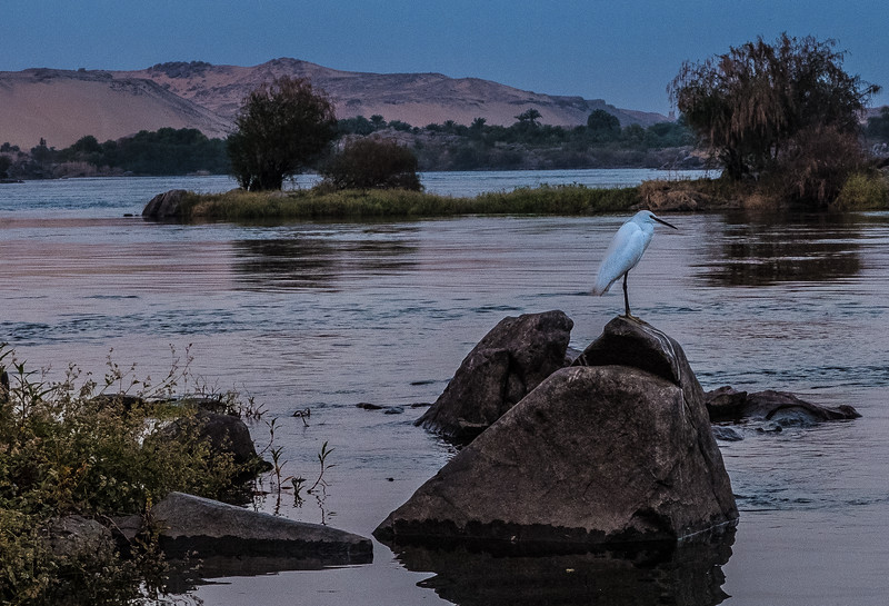 Egret, Nile River, Egypt