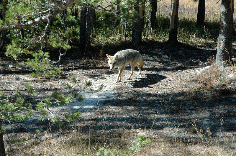 Coyote, Yellowstone National Park, Montana
