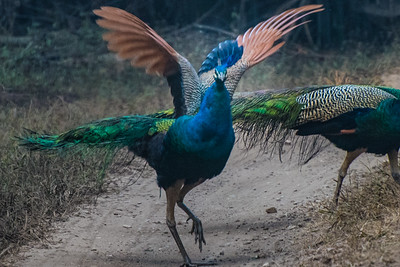 Peacocks, Kahna National Park, India