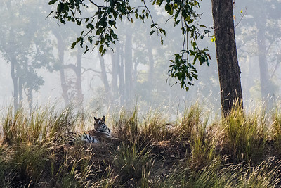 Tiger, Kahna National Park, India