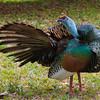 Wild Turkey, Tikal, Guatemala