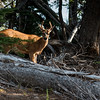 Deer, Olympic National Park, Washington