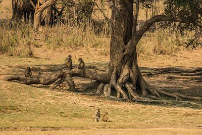 Baboon tribe 2, Vwaza Marsh Wildlife Reserve