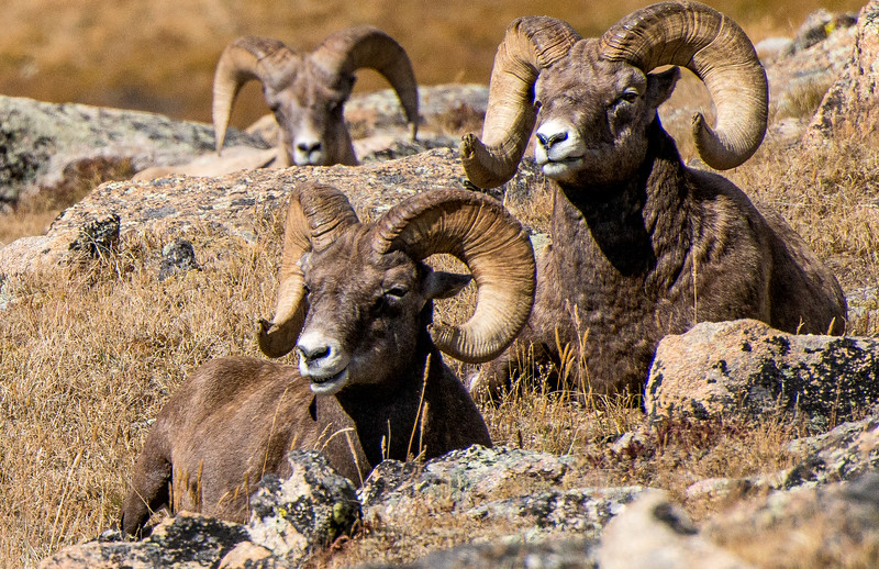Big Horn Sheep, Rocky Mountain National Park, Colorado