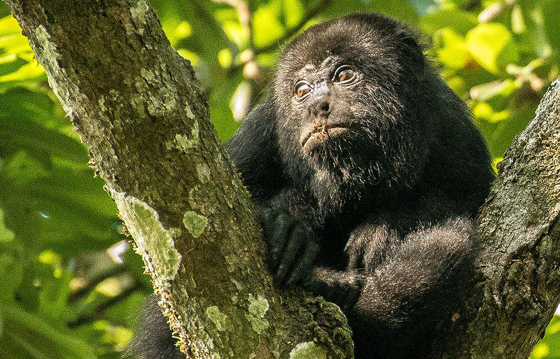 Howler Monkey, Tikal, Guatemala