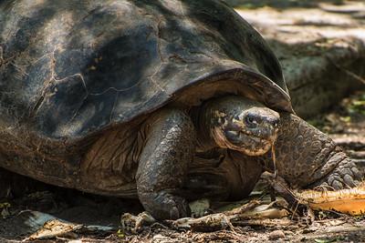 Giant tortoise, Isla Isabela, Galápagos