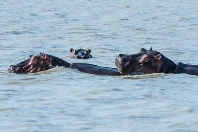 Hippo trio, Vwaza Marsh Wildlife Reserve