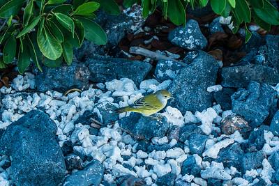 Warbler, Isla Isabela, Galápagos
