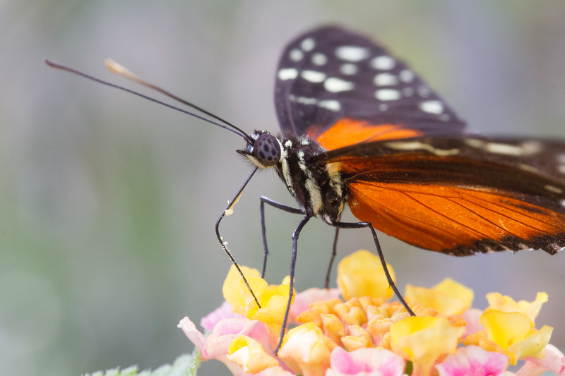 Tiger Longwing, Heliconius Hecale
