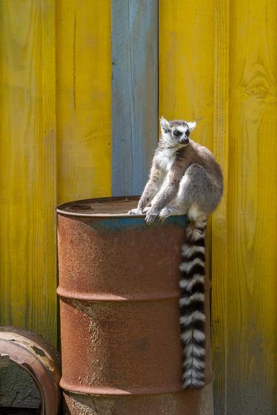 Ring-tailed Lemur, Lemur Catta