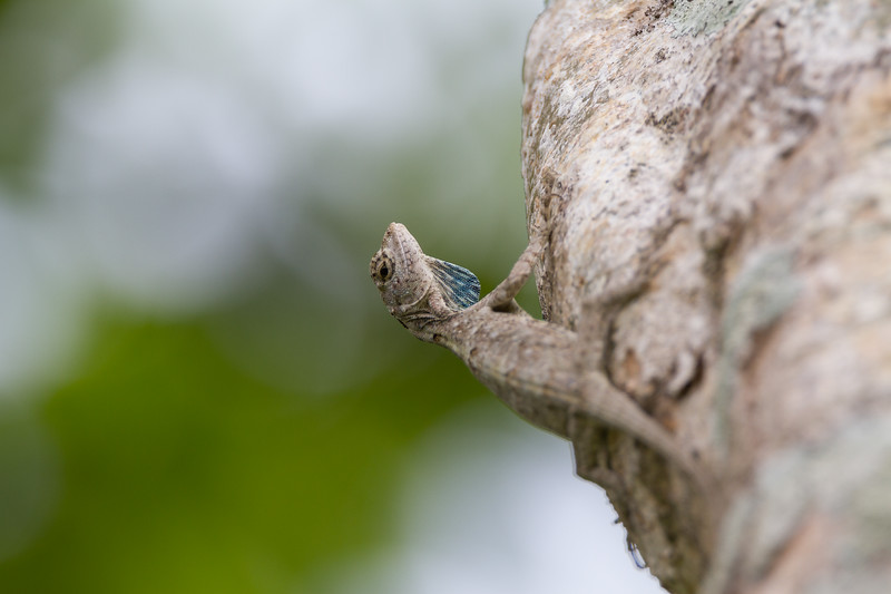 Common Flying Dragon, Draco Volans