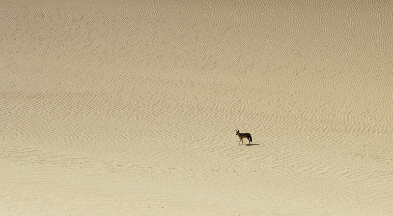 Black-backed jackal in the Namib desert, Namibia