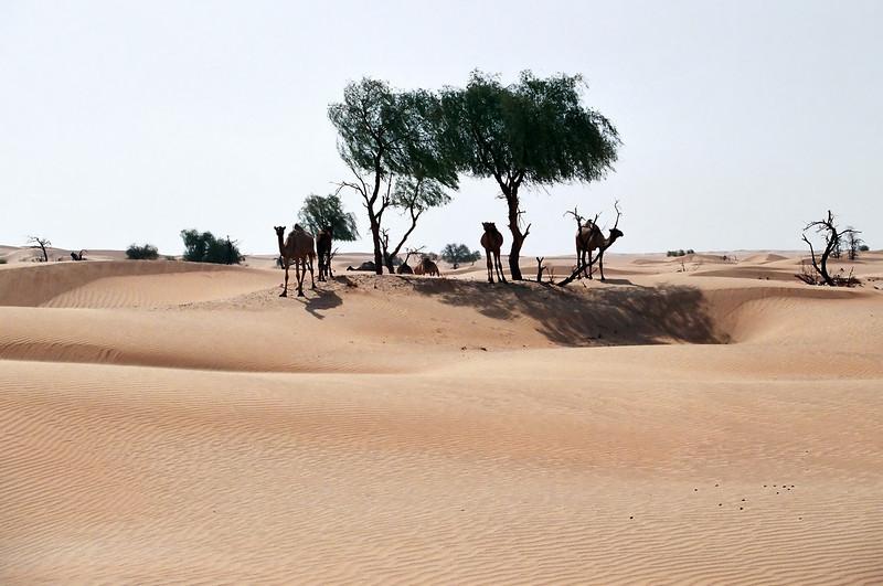 Camels and ghaf trees, eastern Huqf region, Oman