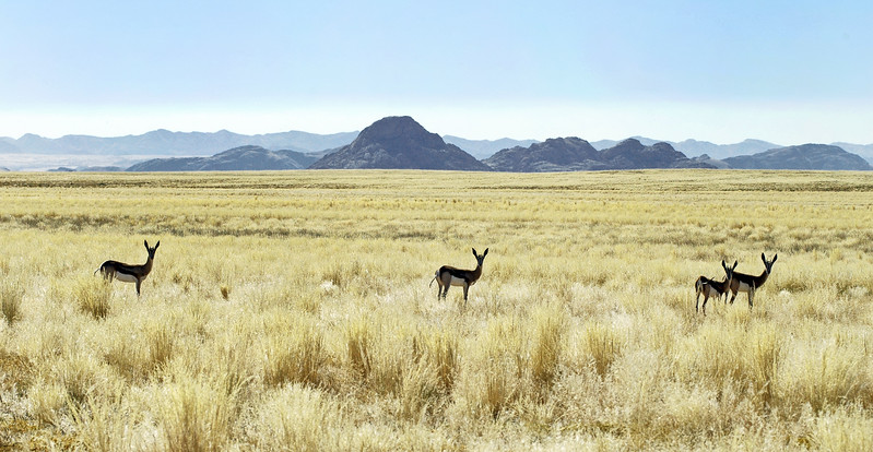 Springbok along the eastern edge of the Namib, central Namibia