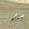 Pair of blue cranes roaming pastures near Dassiesfontein, South Africa