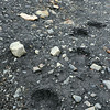 Polar bear track in muddy soil at Strykejernsodden along the northern shore of the Hornsund, Svalbard