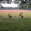 Deer in the Veluwe area, The Netherlands