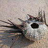 Sea urchin with spines on beach, Oman
