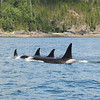 Orcas in the Johnstone Straits, western Canada