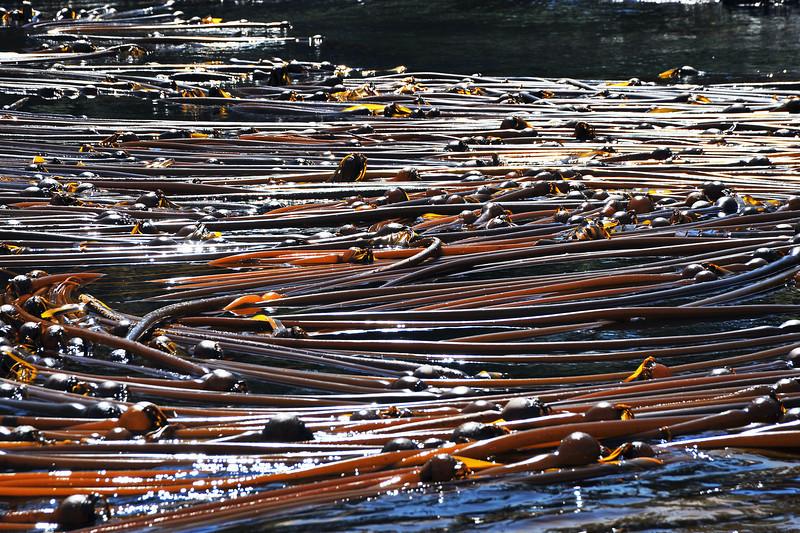 Bull kelp in the Inner Passage, western Canada