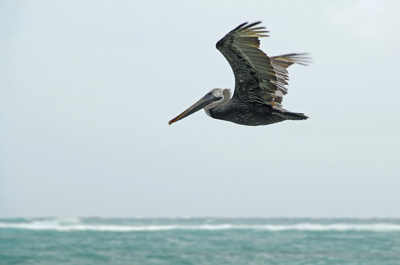 Pelican gliding over shallow reef near Tulum, Mexico