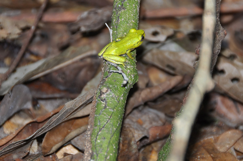 Frog in tropical rainforest in central Gabon