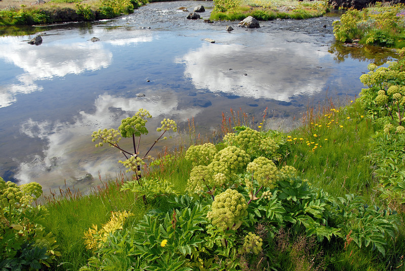 Summer vegetation along stream, Iceland