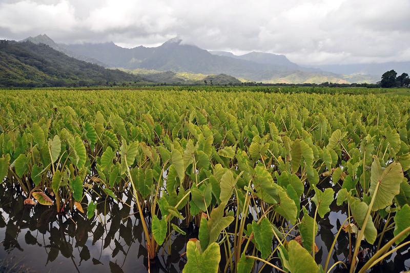 Cultivations of taro (Colocasia esculenta) near Hanalei on northern Kaua'i, Hawaii