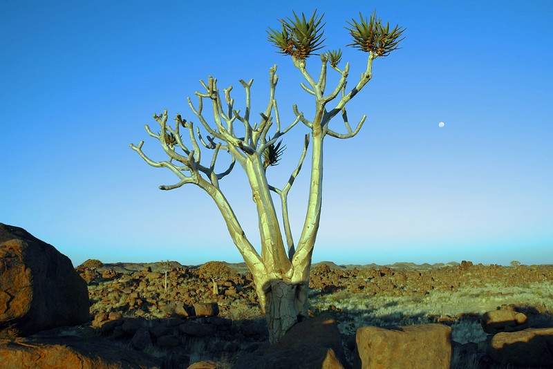 Quivertree at sunset in southern Namibia