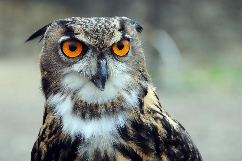 Alert owl scanning its environs, The Netherlands