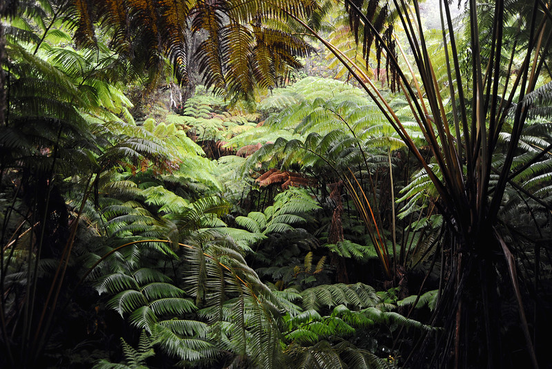 Entrance to cavernous lava tube, filled with giant tree ferns, on Big Island in Hawaii