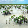 Red mangroves colonizing tidal area on the west coast of Andros island, Bahamas
