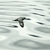 Wings over waves : Northern Fulmar in Svalbard, Norway
