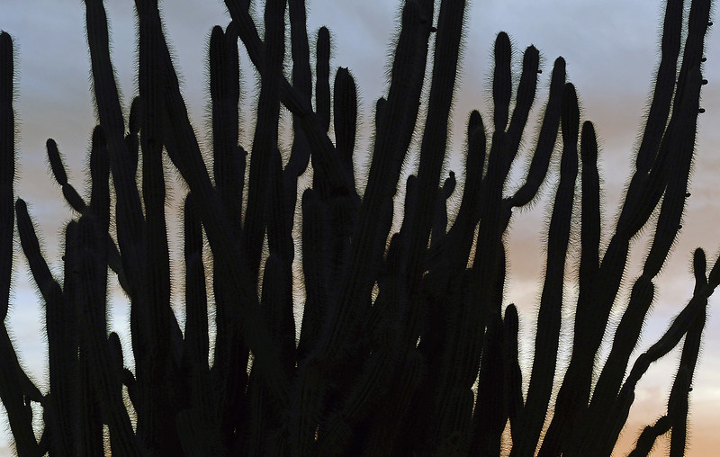 Silhouette of giant cactus just after sunset, Bonaire
