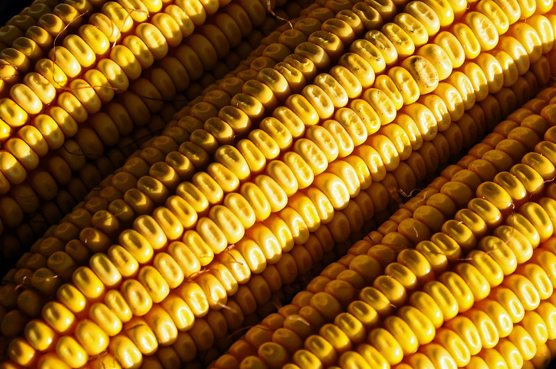 Maize (corn) ears with regular rows of kernels, Fuente Alamo, Spain