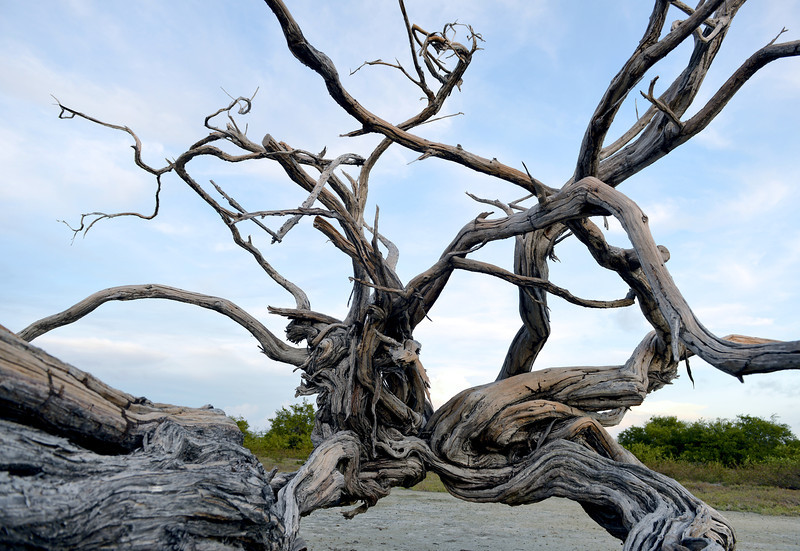 Old mangrove tree, Bonaire